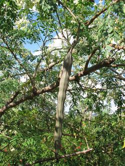 Moringa oleifera lin